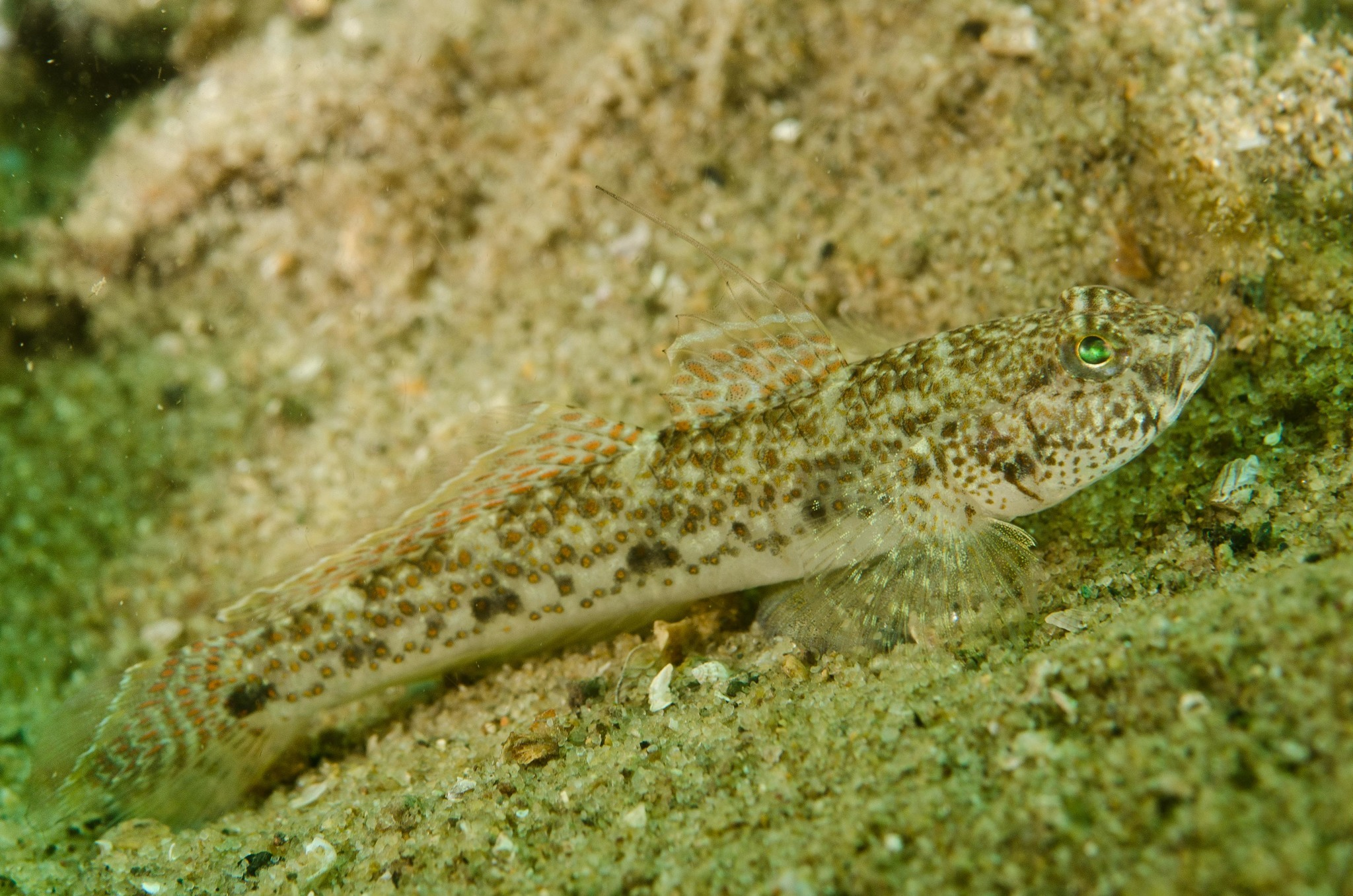 Image of Exquisite goby