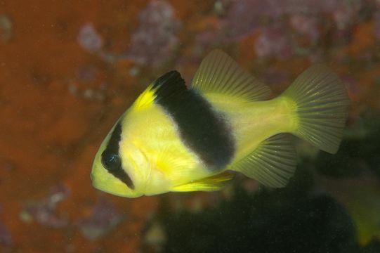 Image of Barred soapfish