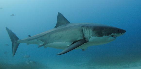 Image of Great White Shark
