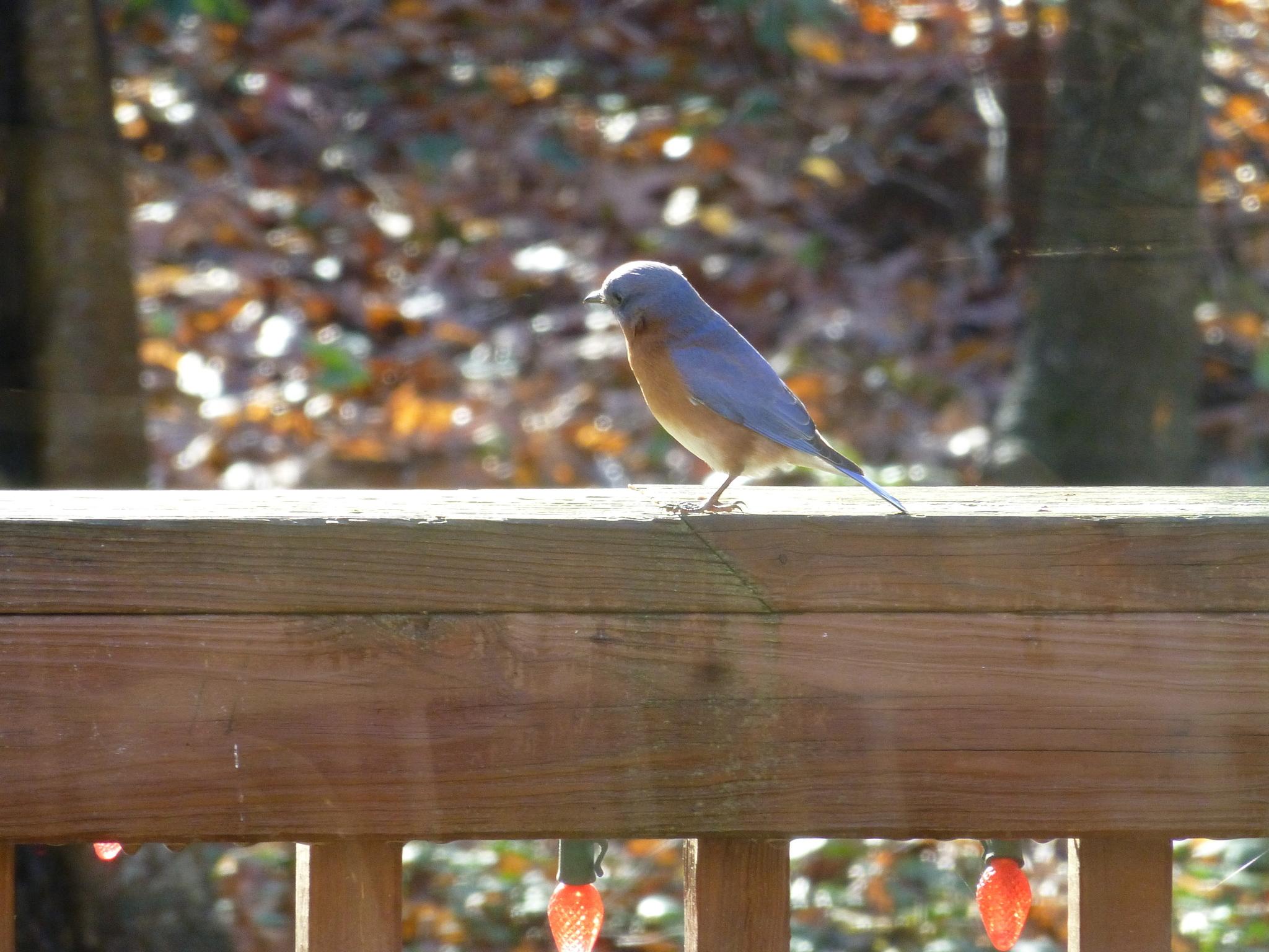 Image of Eastern Bluebird