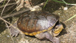 Image of Narrow-bridged musk turtle