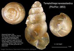 Image of <i>Tornatellinops novoseelandica</i> (L. Pfeiffer 1853)