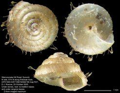 Image of <i>Kokopapa unispathulata</i> Climo & Mahlfeld 2011