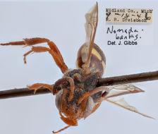 Image of <i>Nomada banksi</i> Cockerell 1907