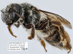 Image of <i>Andrena simplex</i> Smith 1853
