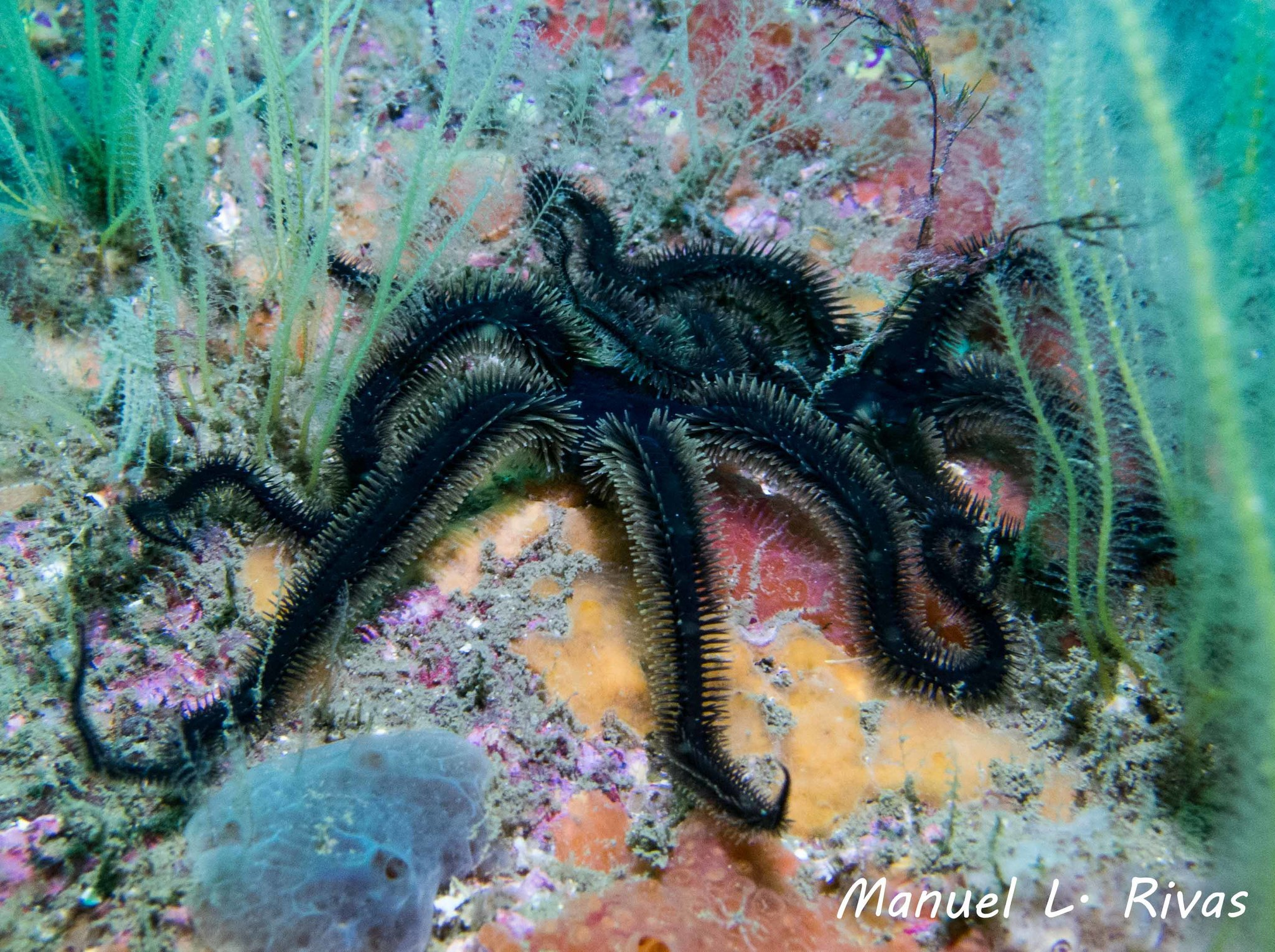 Image of black brittle star