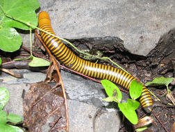 Image of Yellow-banded Millipede