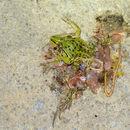 Image of Black-spotted Pond Frog