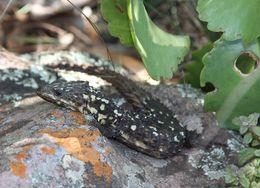 Image of Van Dam's Girdled Lizard