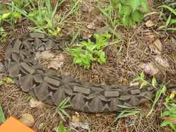 Image of Gaboon viper