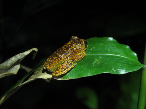 Image of Uluguru forest tree frog