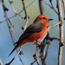 Image of Vermilion Flycatcher