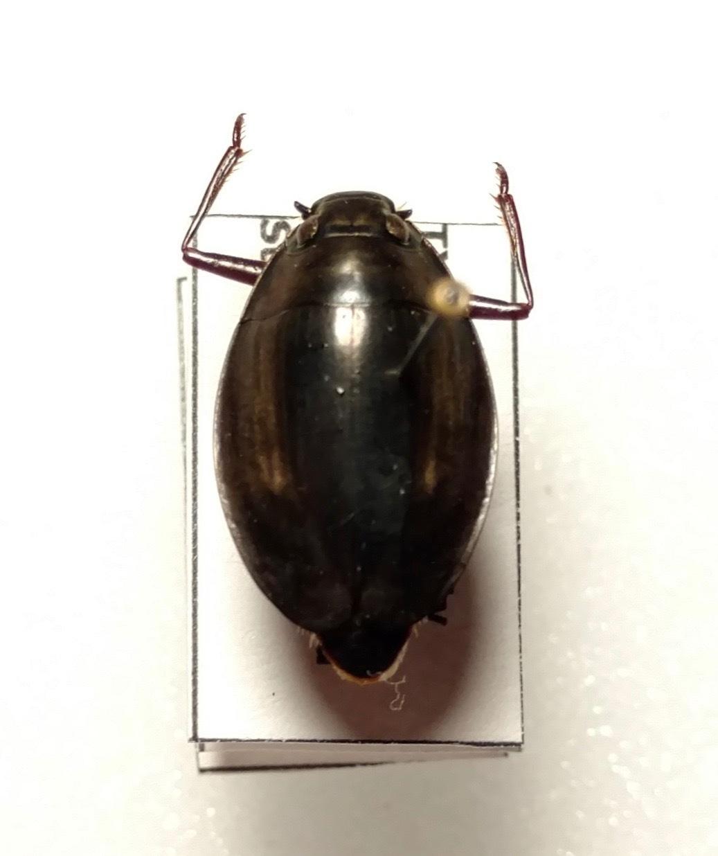 Image of <i>Dineutus ciliatus</i> (Forsberg 1821)