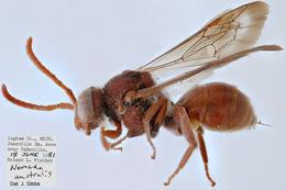 Image of <i>Nomada australis</i> Mitchell 1962