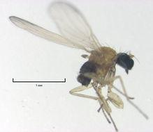 Image of <i>Phyllodromia falcata</i> Plant 2005