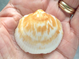 Image of <i>Glycymeris americana</i>