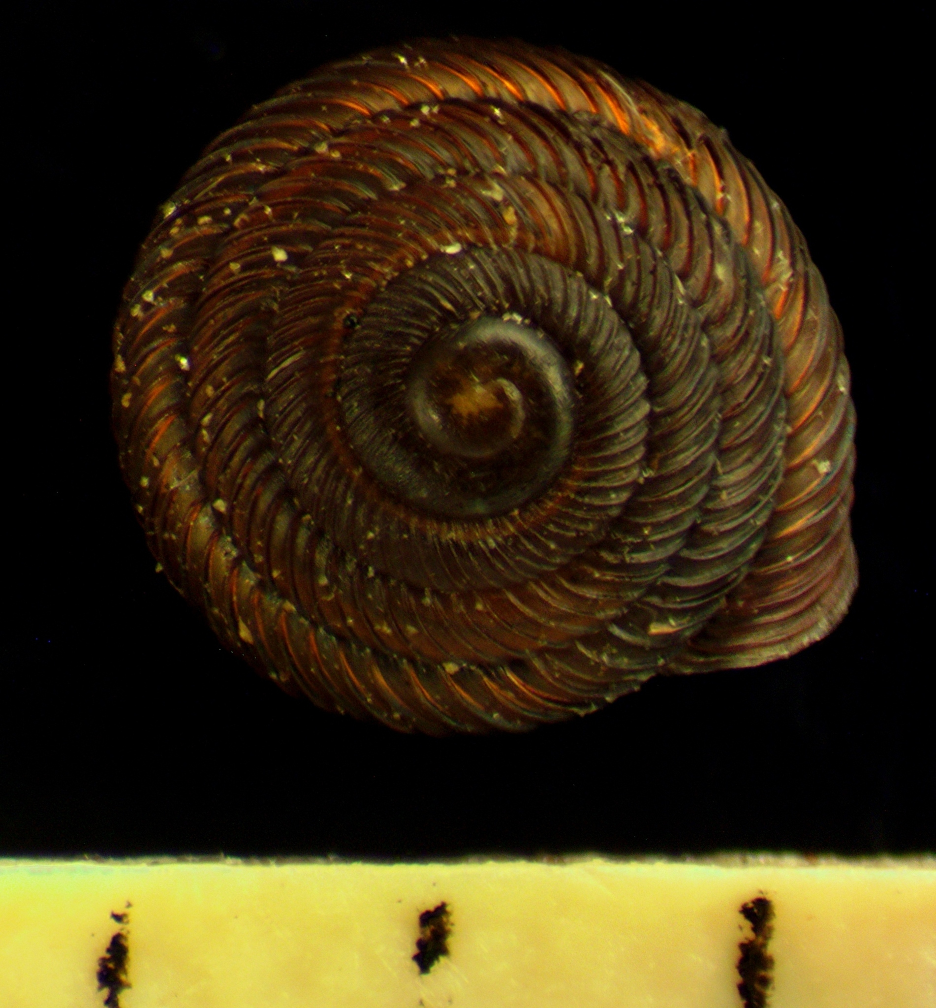 Image of <i>Strobilops aenea</i>
