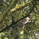 Image of Allen's Bushbaby