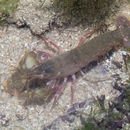 Image of snowflake snapping shrimp