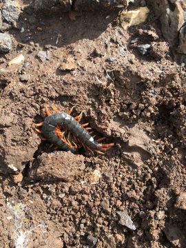 Image of Mediterranean banded centipede