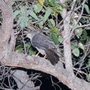 Image of Collared sparrowhawk
