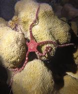 Image of <i>Ophioderma rubicundum</i>