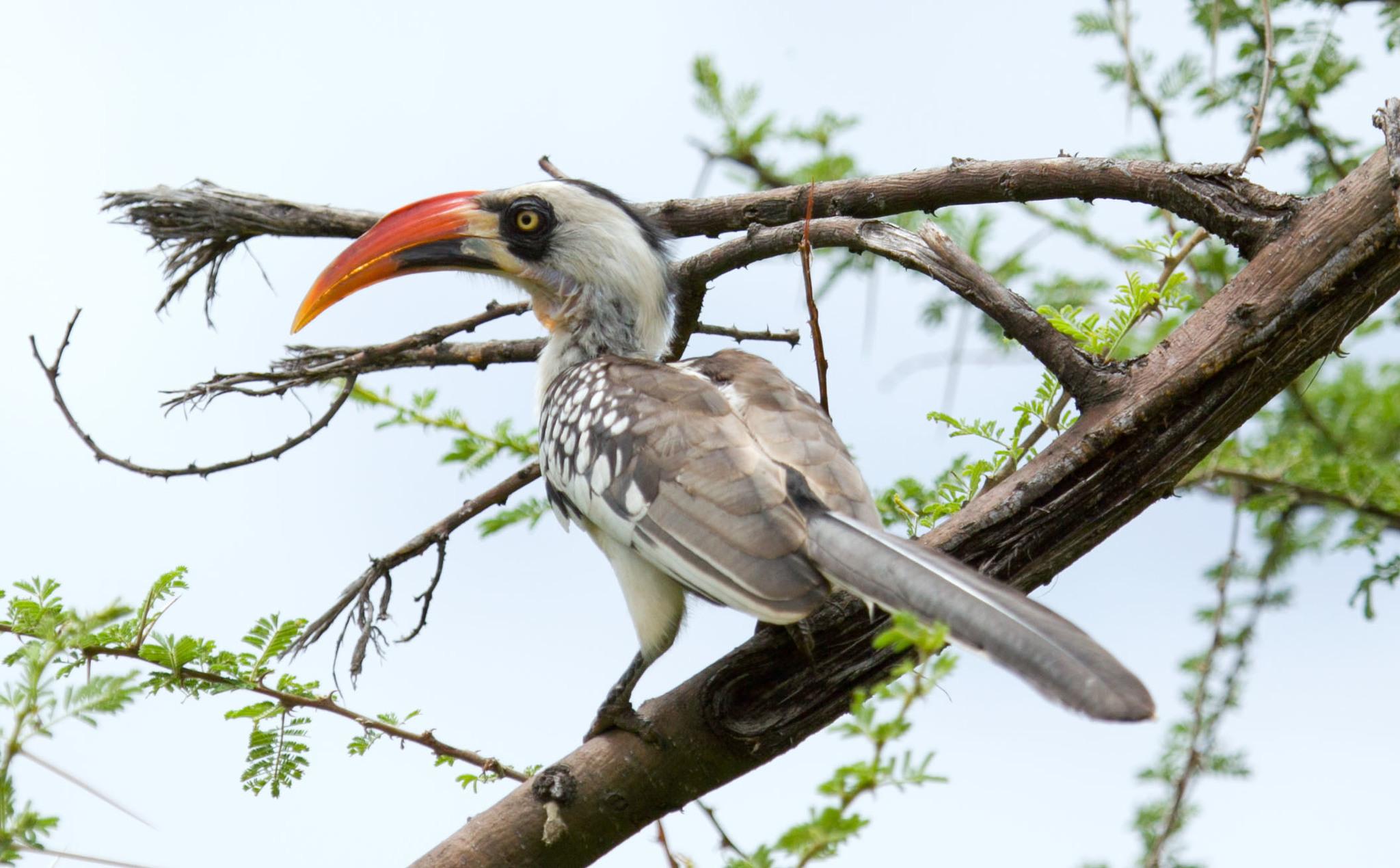 Image of Tanzanian Red-billed Hornbill