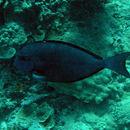 Image of Whitefin Surgeonfish