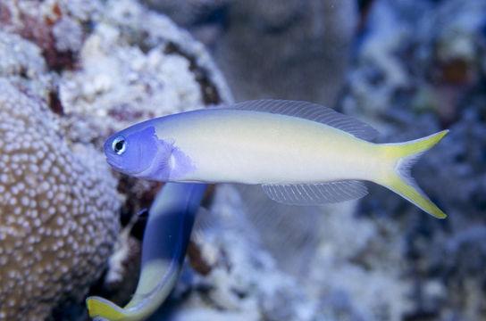 Image of Bluehead tilefish