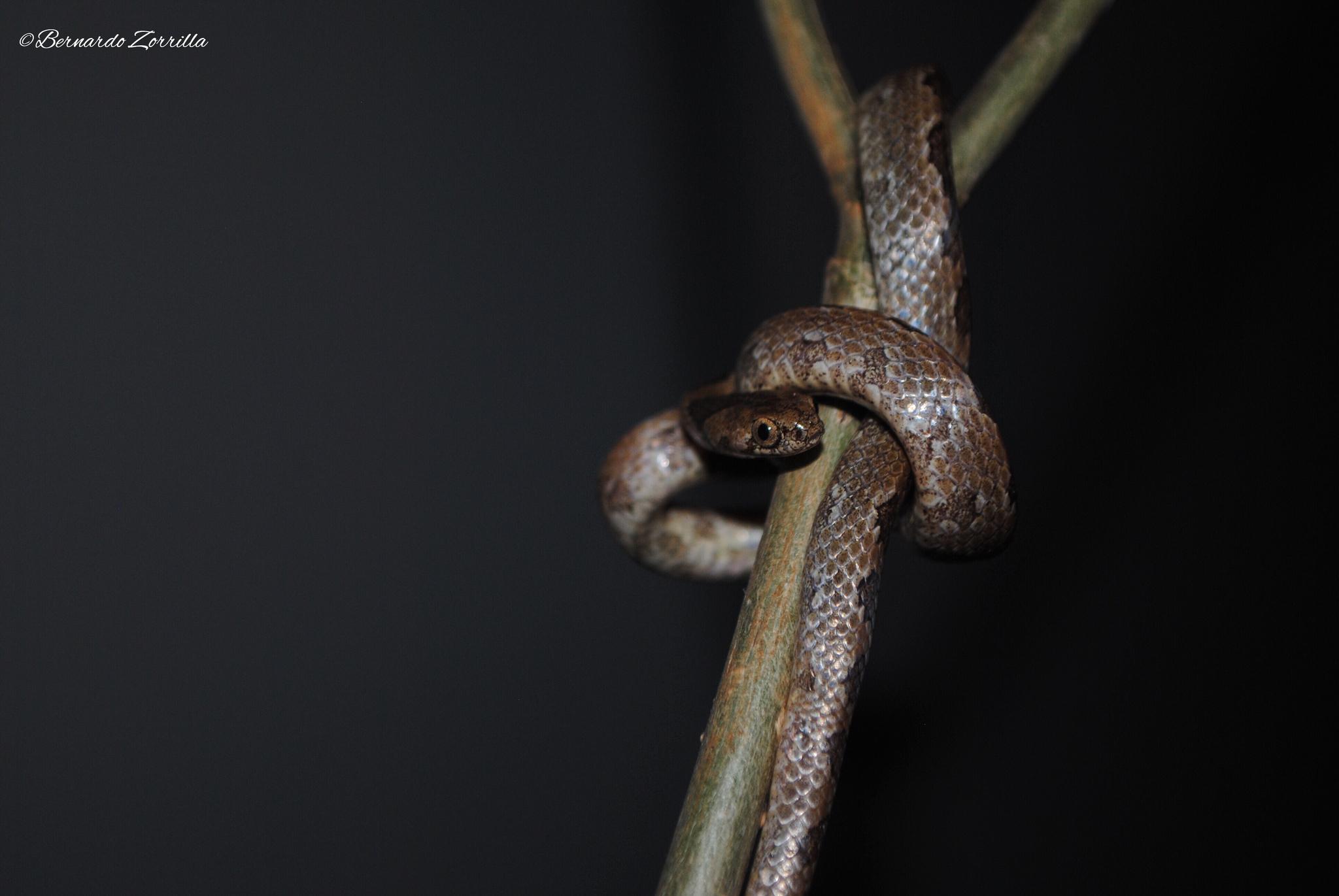 Image of Pigmy Snail Sucker