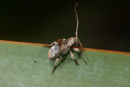 Image of <i>Hybolasius crista</i>