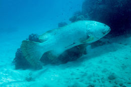 Image of Brindle Bass