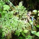 Image of <i>Conioselinum chinense</i>