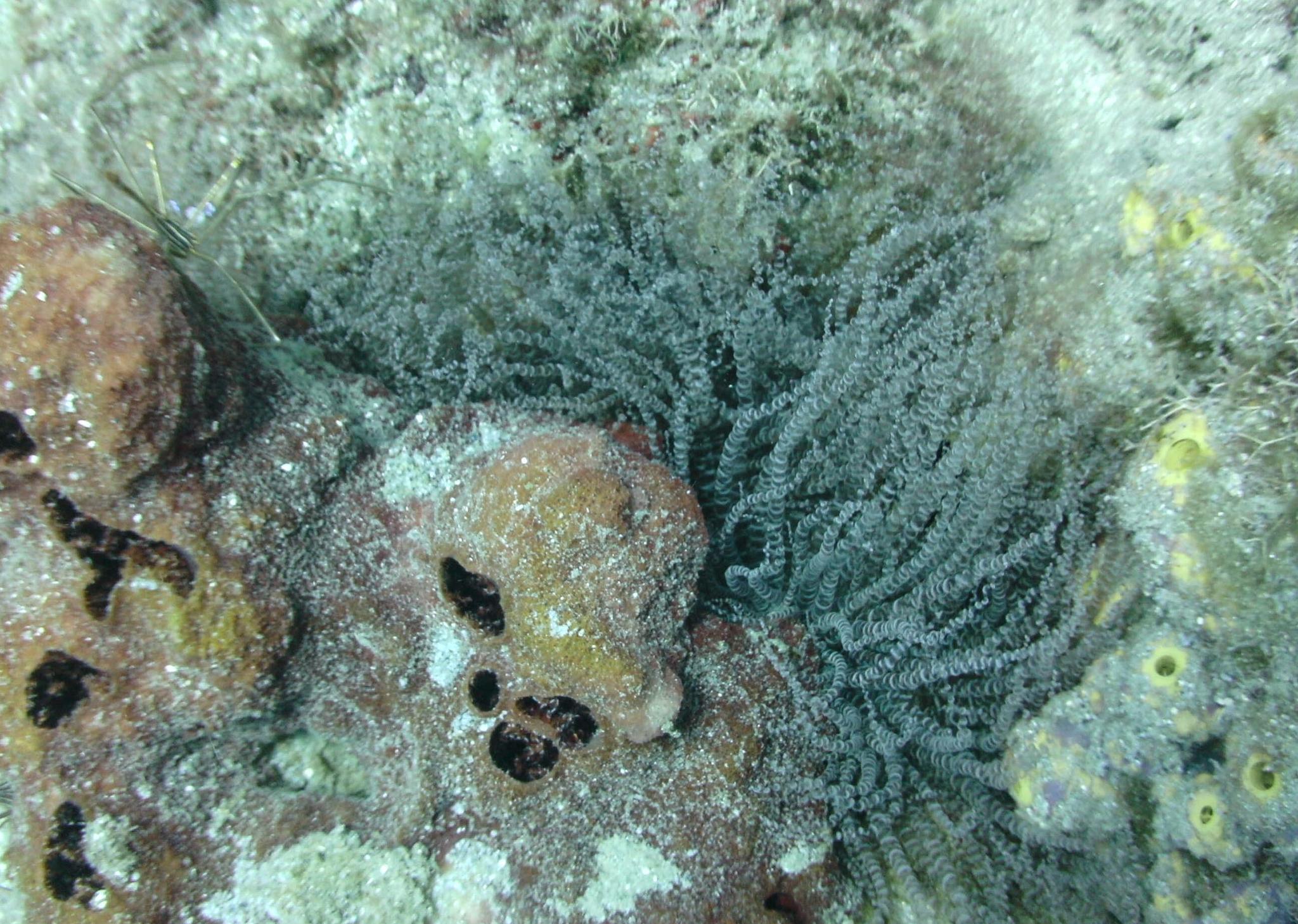 Image of ringed anemone