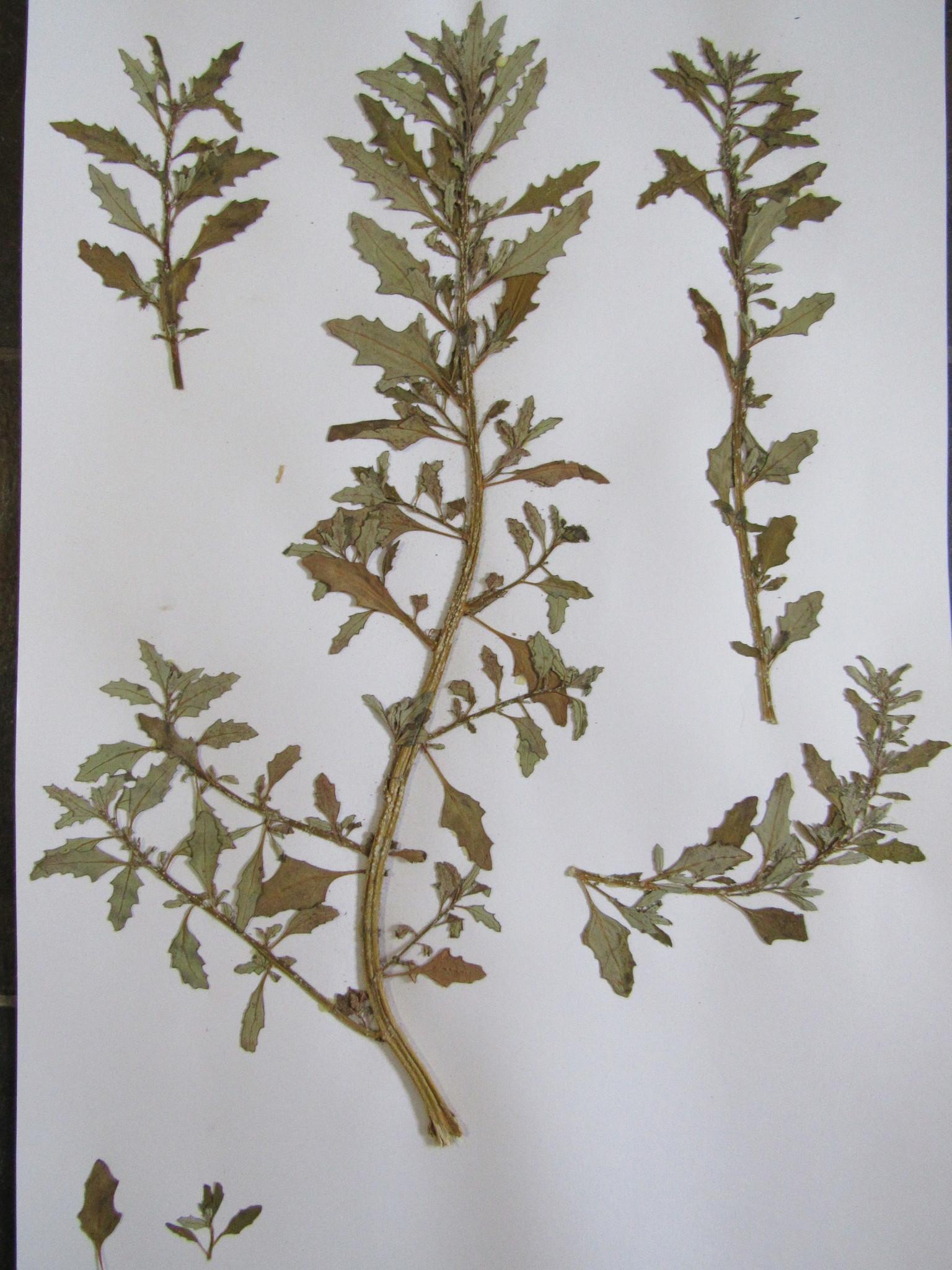 Image of <i>Oxybasis glauca</i>