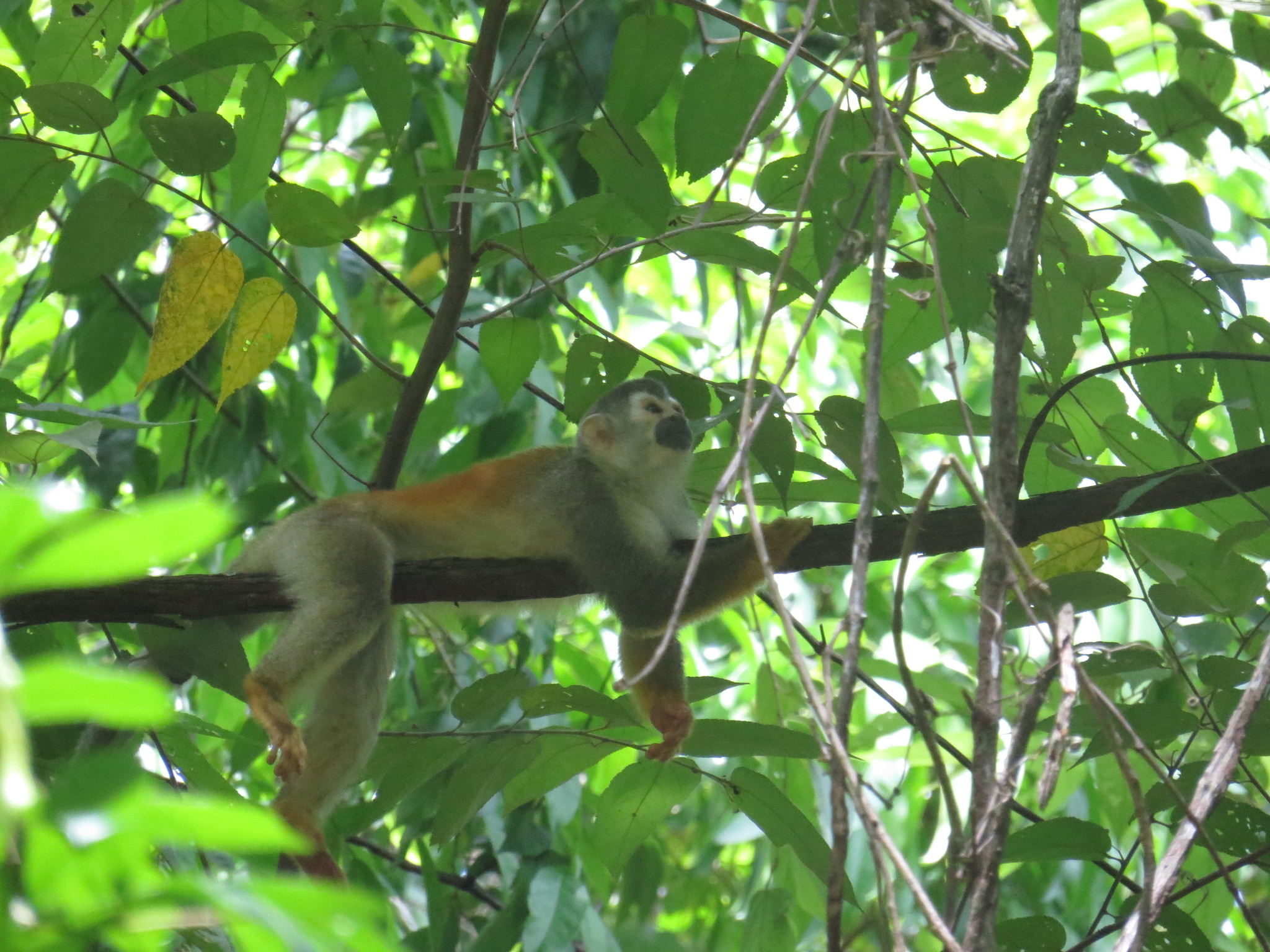 Image of Grey-crowned Central American Squirrel Monkey