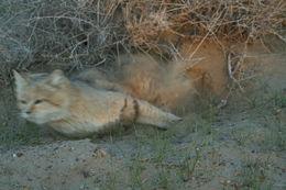Image of Sand Cat