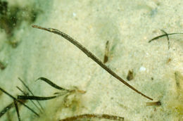 Image of Bend stick pipefish