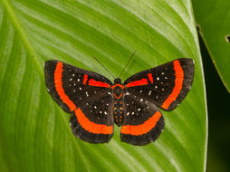 Image of <i>Amarynthis meneria</i> Cramer 1776