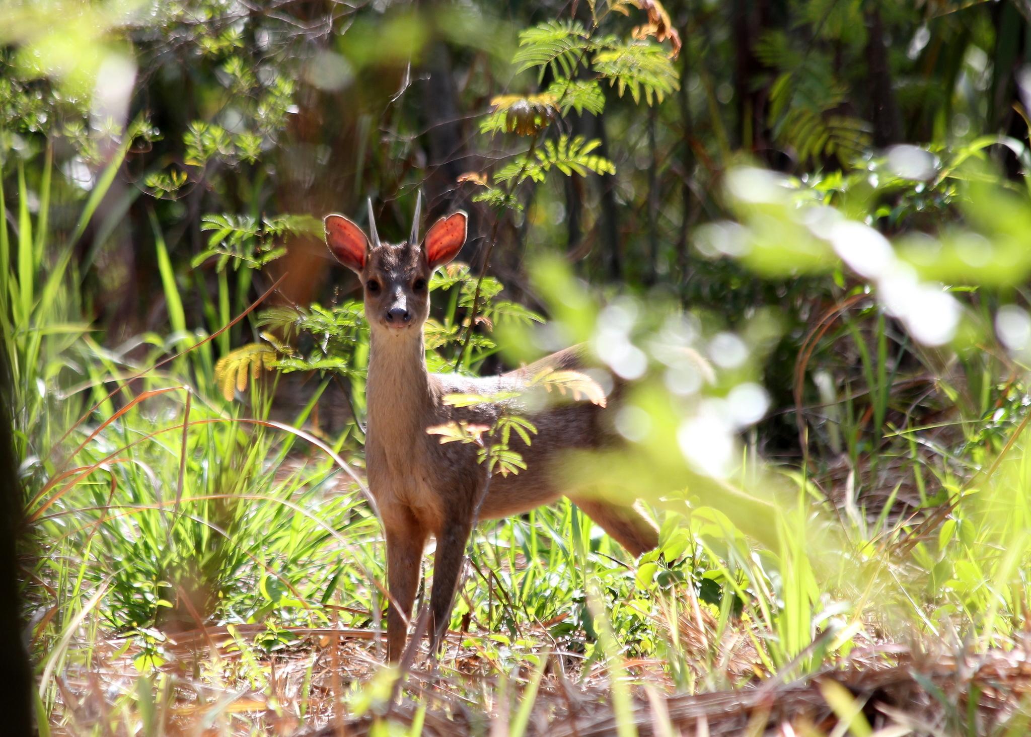 Image of South American Brown Brocket
