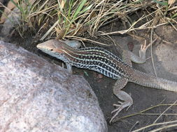 Image of Giant spotted whiptail
