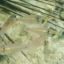 Image of Twinspot cardinalfish