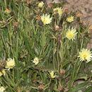 Image of <i>Schlagintweitia intybacea</i>