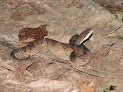 Image of Central American Bushmaster