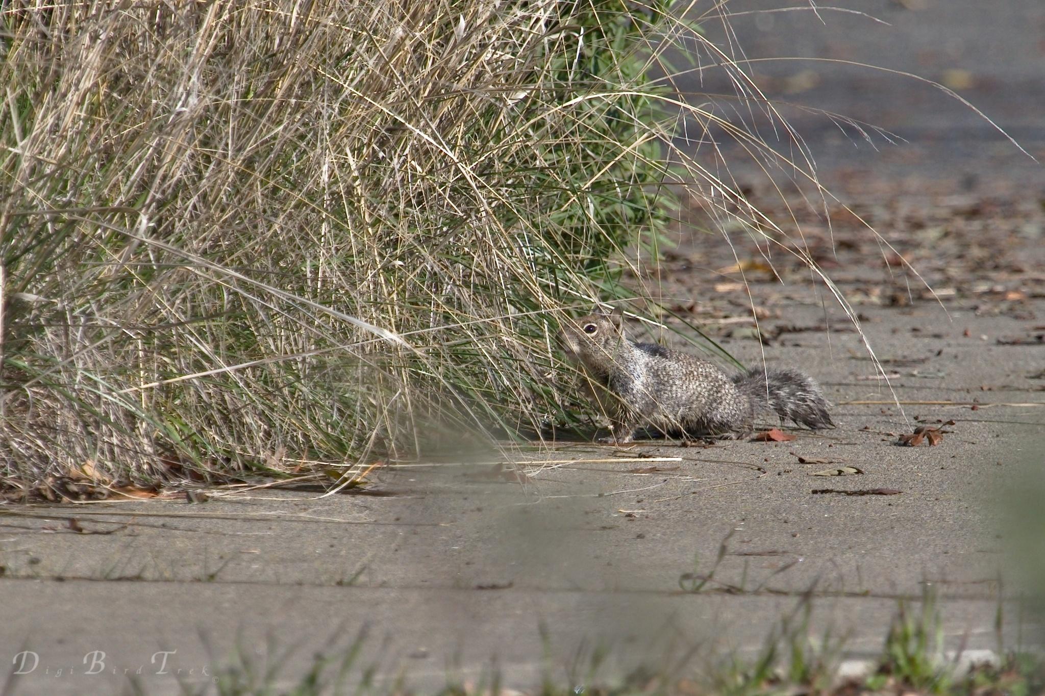 Image of California ground squirrel