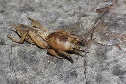 Image of Shortwinged mole cricket