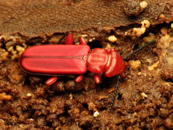 Image of Red Flat Bark Beetle
