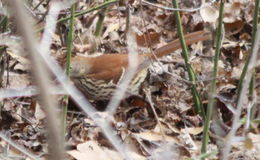 Image of Brown thrasher