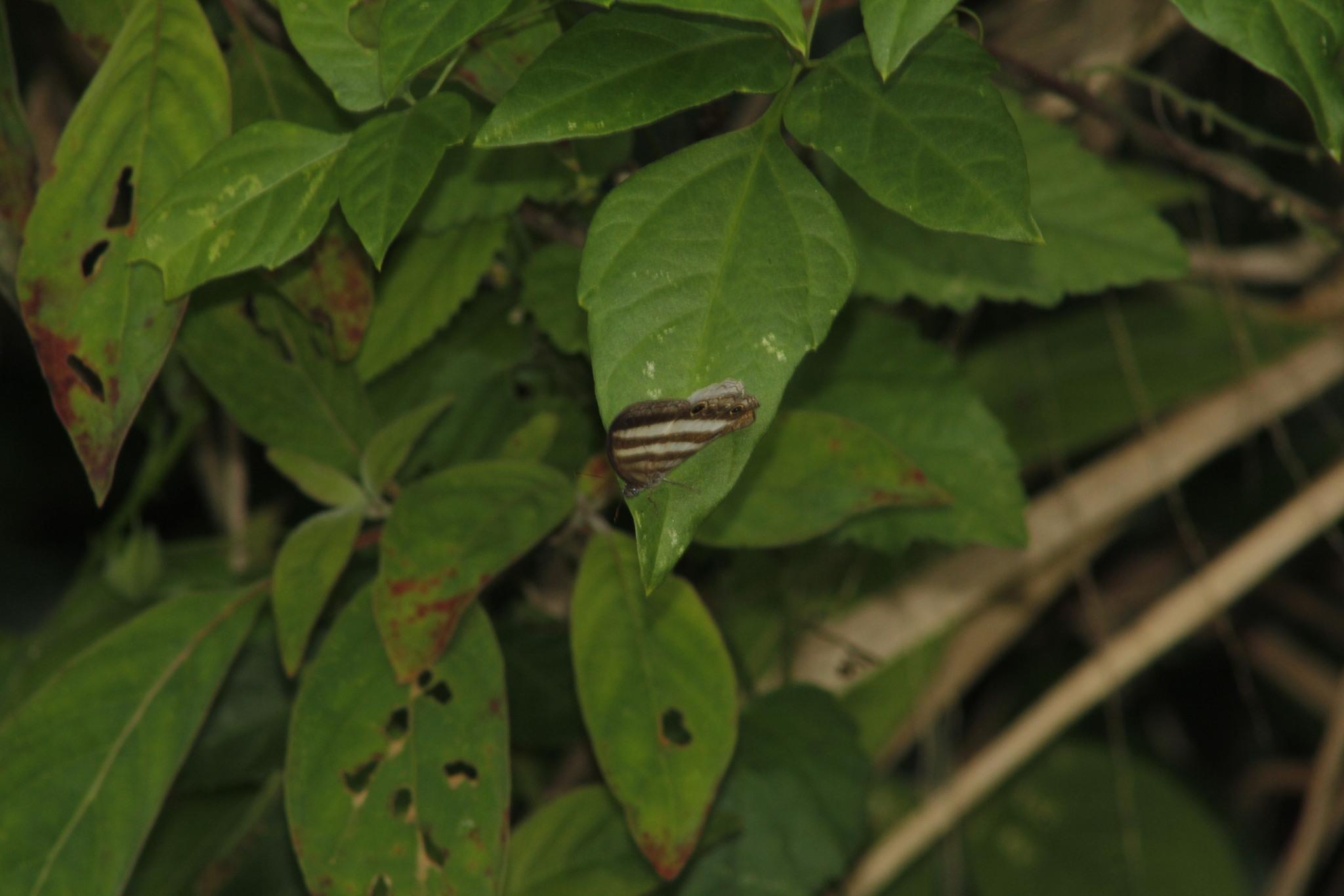 Image of <i>Pareuptychia ocirrhoe</i> Fabricius 1777