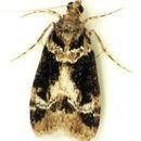 Image of <i>Eudonia zophochlaena</i> Meyrick 1923